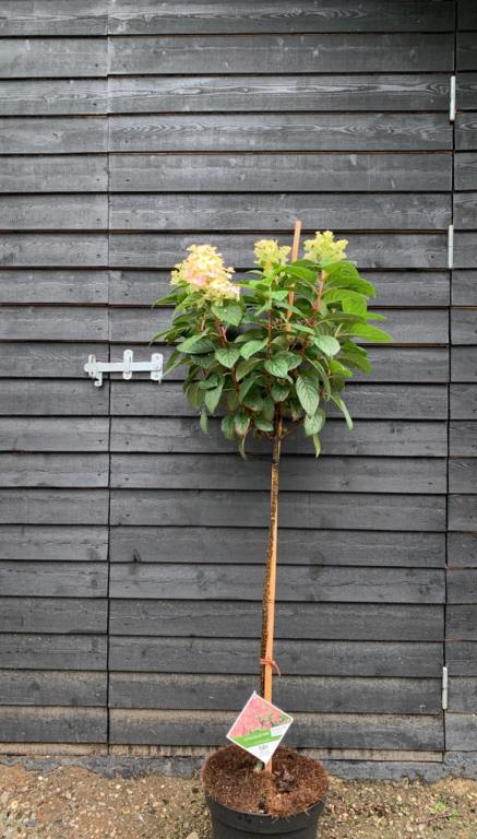 Hydrangea paniculata 'Little Quick Fire'