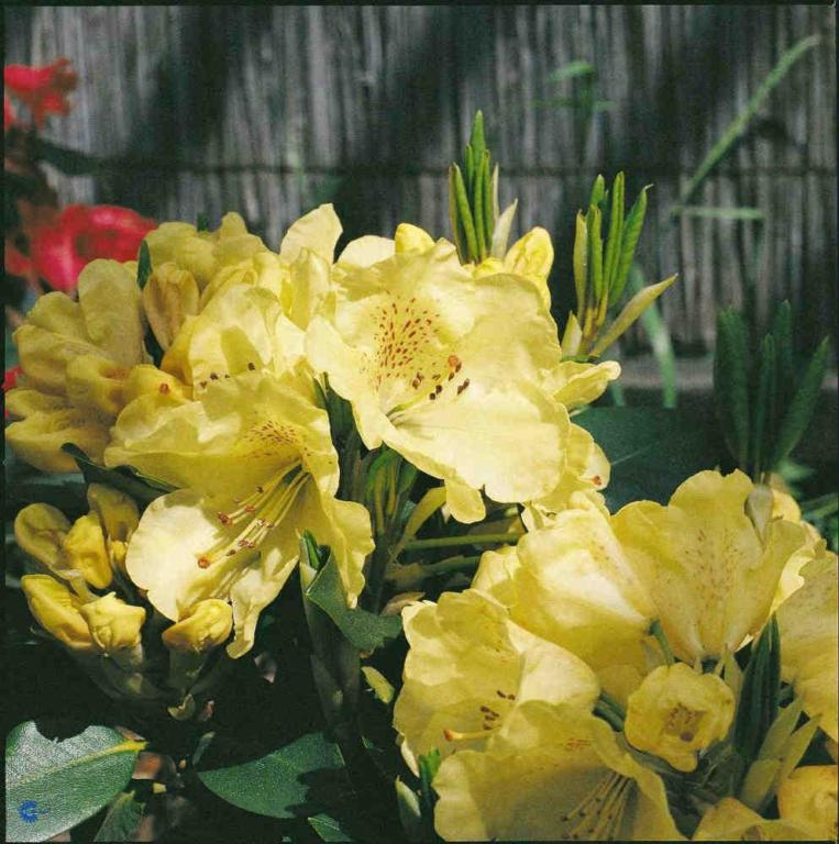 RHODODENDRON 'GOLDKRONE'