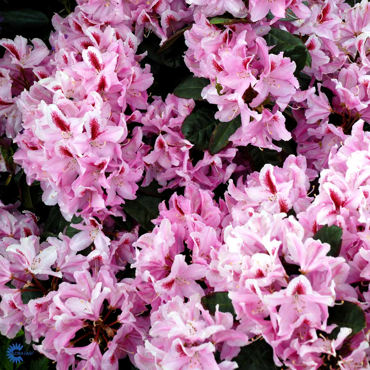 RHODODENDRON 'FURNIVALS DAUGHTER'