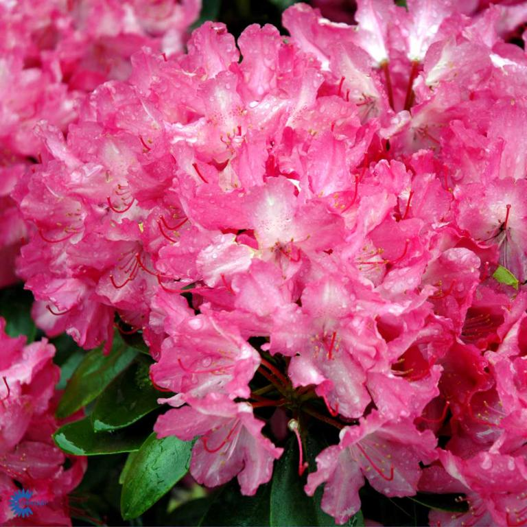 RHODODENDRON 'ASTRID'