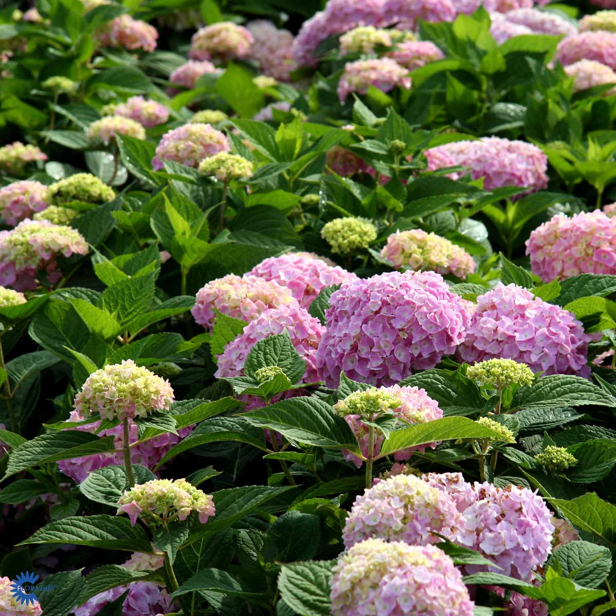 HYDRANGEA ENDLEES SUMMER 'ROSA'
